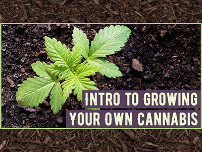 intro to growing cannabis